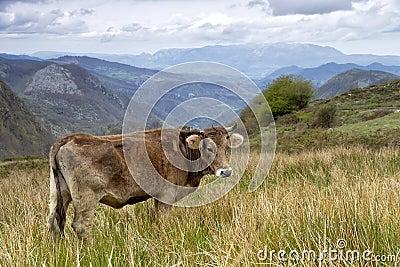 Cow on a pasture Asturias