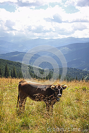 Cow on a pasture in Carpathian mountains, Ukraine