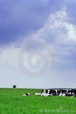 Cow pasture in the meadow
