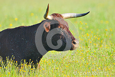 Cow with pesky fly