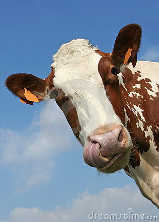 Free Cow Portrait Royalty Free Stock Image - 2244966