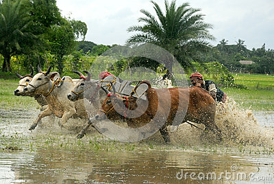 Cow Race Editorial Image