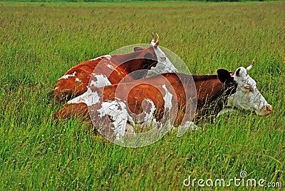 Cow-relative.