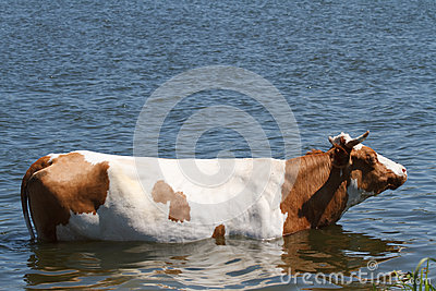 Cow in the river