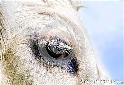 Cow s eye