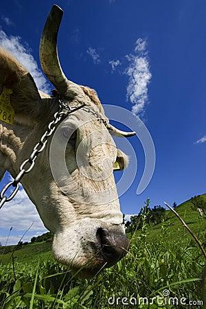 Cow s Head