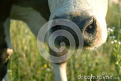 Cow s muzzle