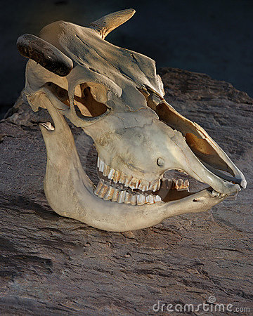 Free Cow S Skull Stock Images - 14387744
