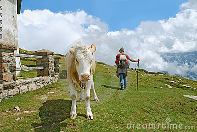 Cow and shepherd Editorial Photo