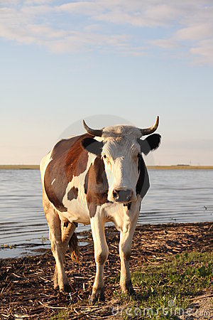 Cow and shore