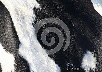 Cow skin