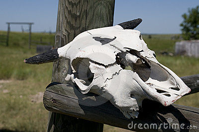 Cow Skull on Wyoming Ranch