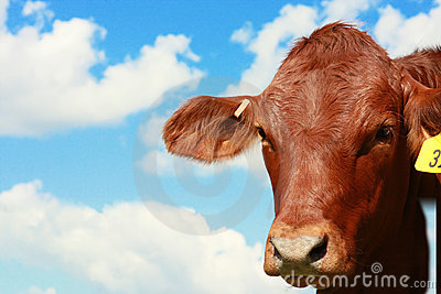 Cow with sky