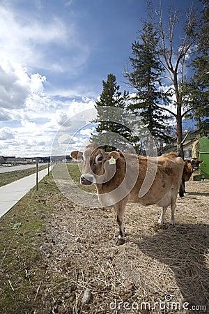 Cow in small field by sidewalk.