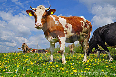 Cow son a summer pasture