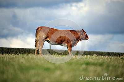 Cow stood in a field