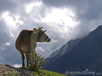 Cow on a storm at Pyrenees