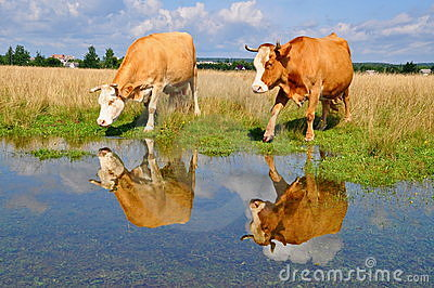 Cow on a summer pasture after a rain
