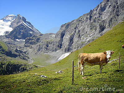 Daily cow in the Swiss Alps, Jungfrau region