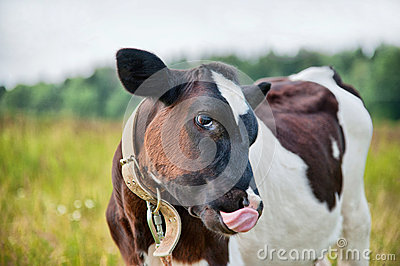 Cow with tongue