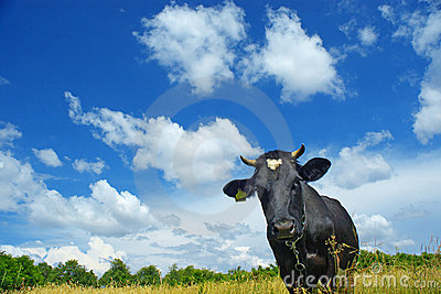 Cow under clouds
