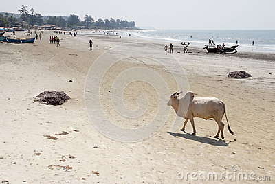 Cow walking on the beach