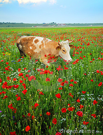 Cow in wildflowers field