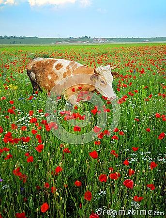 Cow in wildflowers field