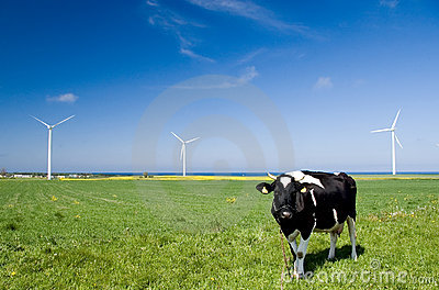 Cow and wind turbines.