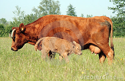 Cow and Young Calf 02