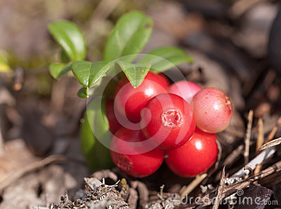 Cowberry close up