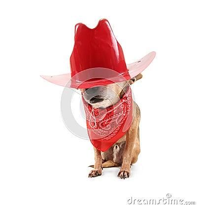 Cowboy chihuahua