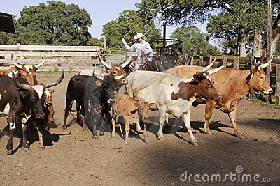 Cowboy Herding Cattle