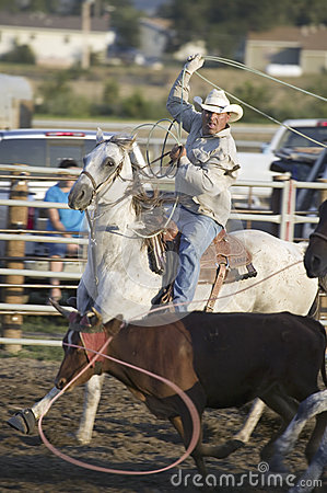 Cowboy lassoing cow at PRCA Rodeo Editorial Photo