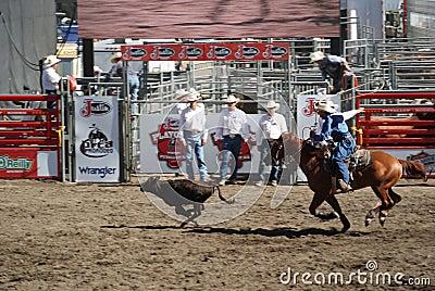 Cowboy roping steer Editorial Stock Image