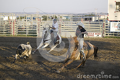 Cowboys lassoing cow Editorial Stock Image
