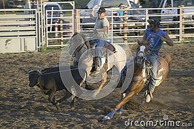 Cowboys lassoing cow Editorial Stock Photo