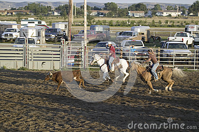 Cowboys lassoing cow at PRCA Rodeo Editorial Photo