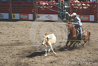 Cowboys team roping. Editorial Stock Image