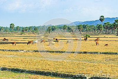 Cowherd on harvested field, Mekong Delta