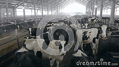 Cowhouse con abbondanza delle mucche in bianco e nero video d archivio