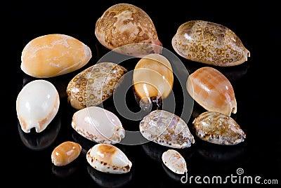 Cowrie Seashells