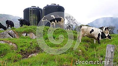 cows молокозавод пася акции видеоматериалы