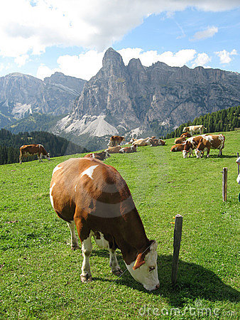 Free Cows Stock Photography - 11508302