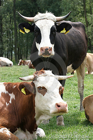 Free Cows Royalty Free Stock Images - 2445239