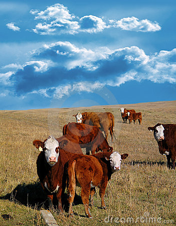 Free Cows Stock Image - 244791