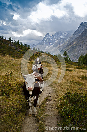Cows along the Italian Alps