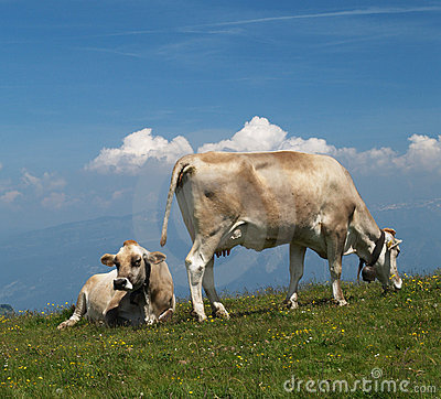 Cows on alp