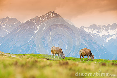 Cows in an Alpine meadow