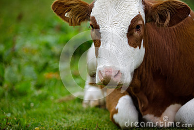 Cows on Alpine Pasture